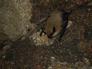 Here is a Western Pipistrelle, oops, I mean Canyon bat.