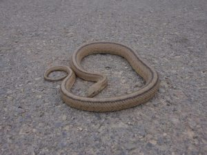 What appears to be a Ladder Snake is in the middle of the road.