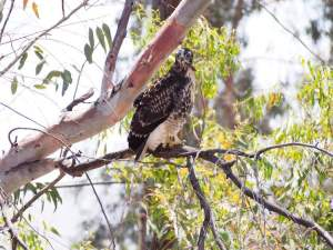Here is another shot of the same hawk.