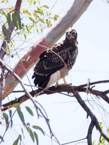 Juvenile Red Tail Hawk near nest.